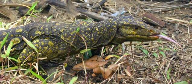Nouveau venu dans le monde animal, Varanus bitatawa a su cacher ses deux mètres aux chercheurs malgré l'intense fréquentation de son île. © Joseph Brown