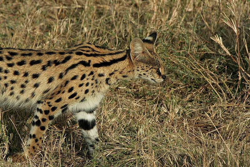 Photo d'un serval. © Schuyler Shepherd, Creative Commons Attribution-Share Alike 2.5 Generic license