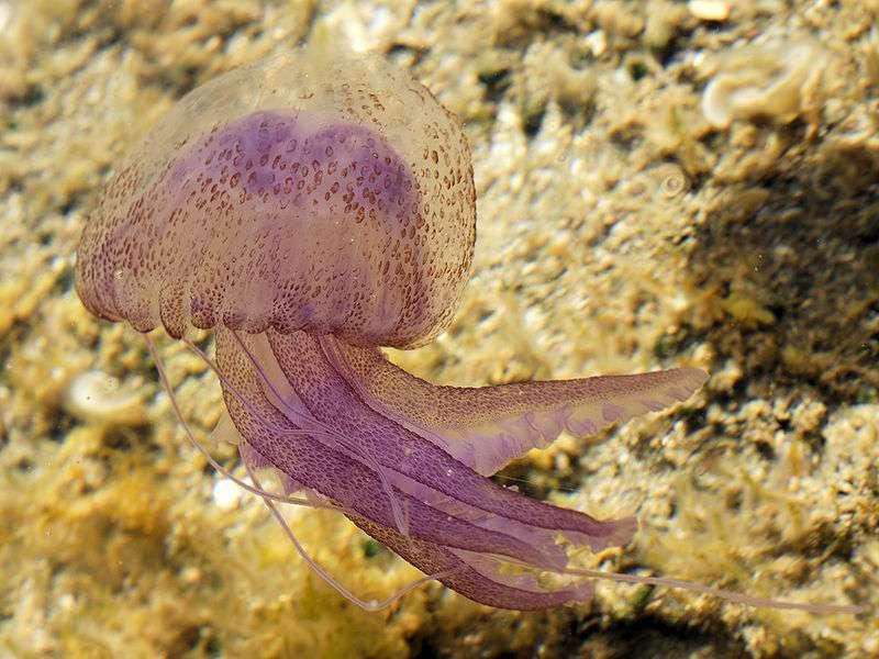 Photo d'une méduse urticante (Pelagia noctiluca). © Hans Hillewaert, CC paternité 3.0 Unported