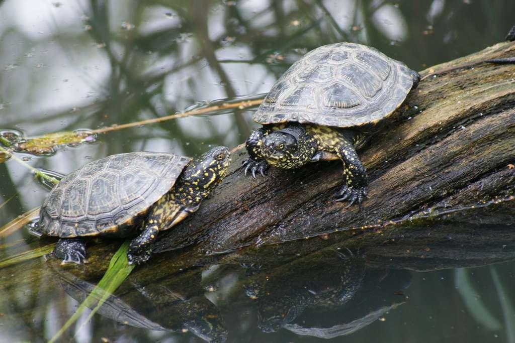 Dans sa niche écologique, la cistude d'Europe souffre de la concurrence de la tortue de Floride, avec laquelle on la confond fréquemment. © Flickr, tim ellis, cc by nc 2.0