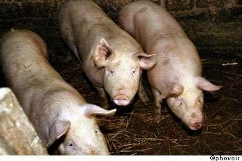 Des porcs provenant d'Allemagne étaient contaminés à la dioxine et ont dû être abattus. © Phovoir