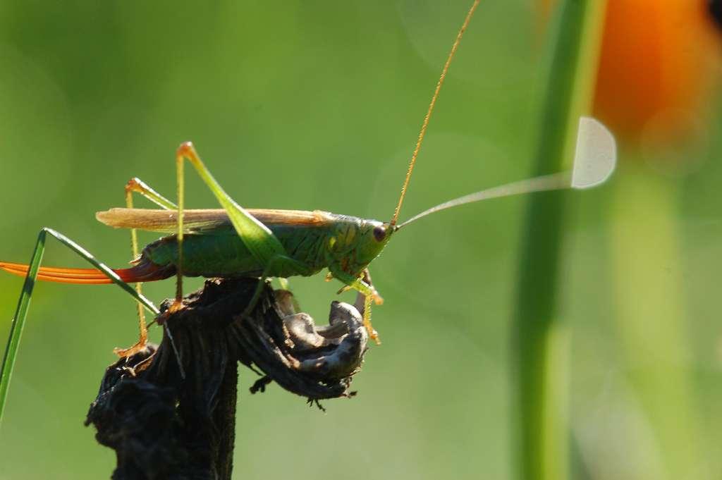 L'ovipositeur est visible à l'arrière du corps de cette sauterelle. Cet insecte orthoptère se reconnaît grâce à ses pattes arrière adaptées au saut et à ses longues antennes. © 64k.be, Flickr, CC by-nc-sa 2.0