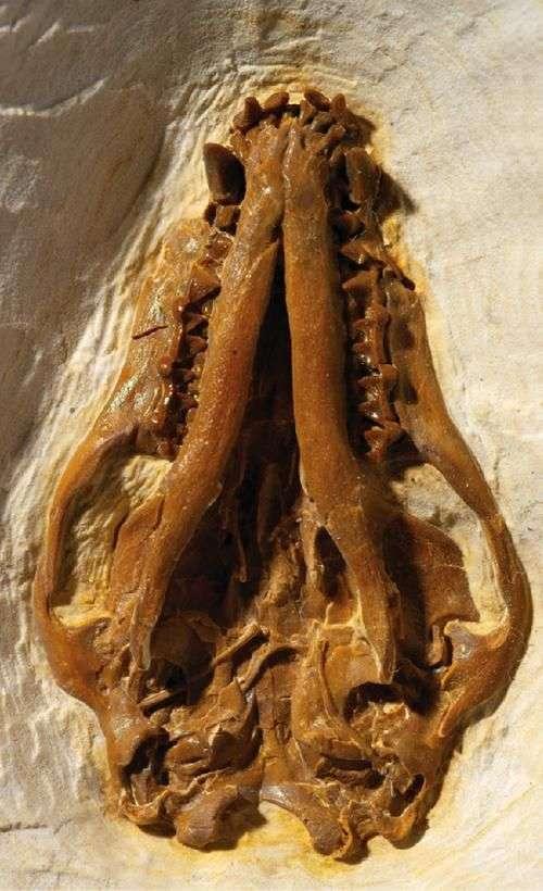 Crâne de Onychonycteris finneyi. Crédit : American Museum of Natural History (New York)