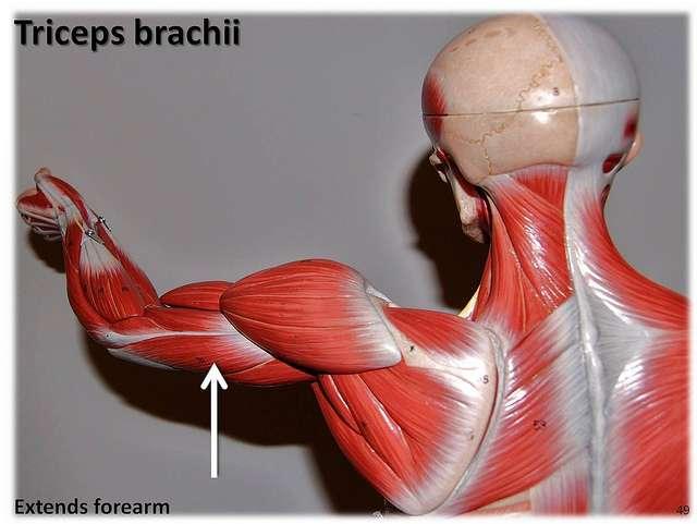 Le triceps est un muscle extenseur du bras. © Rob Swatski, Flickr, CC by-nc 2.0