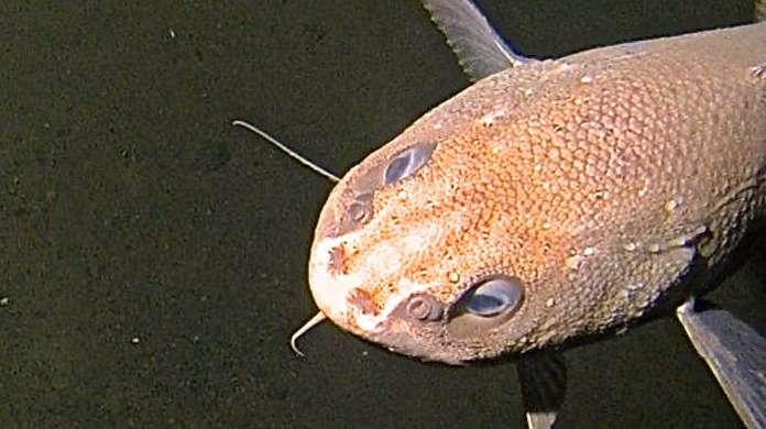 Un poisson de la famille des Ophiidés, long de 60 à 70 cm, se promène par 6.000 m de fond dans la fosse des Mariannes. © OceanLab/Université d'Aberdeen