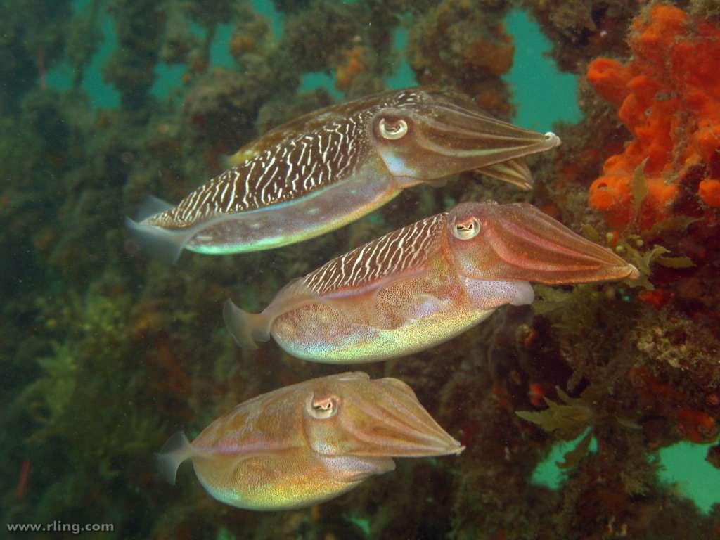 Les seiches, ici des Sepia plangon (deux mâles au-dessus et une femelle en dessous), sont des céphalopodes décapodes et donc des mollusques. Comme les calmars, dont elles sont proches, les seiches possèdent des poches à encre. Leurs petits s'appellent des casserons. © Richard Ling/Flickr, CC by-nc-sa 2.0
