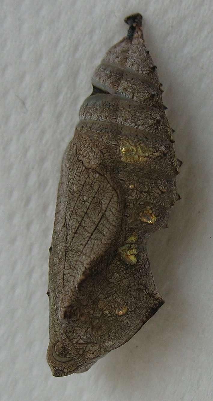 Chez les papillons, le nymphose est appelée chrysalidation. © esacademic.com