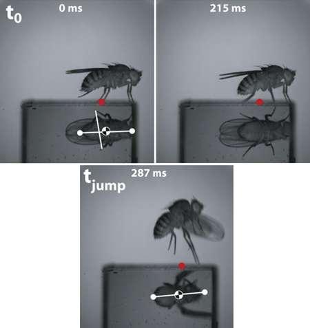 Un décollage en arrière, une manœuvre efficace pour échapper à un danger... © Gwyneth Card et Michael H. Dickinson, Current Biology 18 (9 septembre 2008)