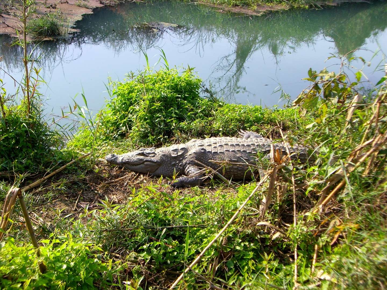 Les crocodiles font partie des espèces ovipares. © Peter Verkhovensky, Flickr cc by 3.0