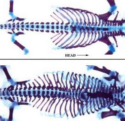 En haut, un squelette normal de souris vu par radiographie. En bas, le squelette d'une souris dont les gènes Hox6 ont été activés dans les zones normalement sans côtes. Le résultat est spectaculaire : des côtes depuis la région du cou jusqu'au bassin, à la manière d'un squelette de serpent... © Moisés Mallo