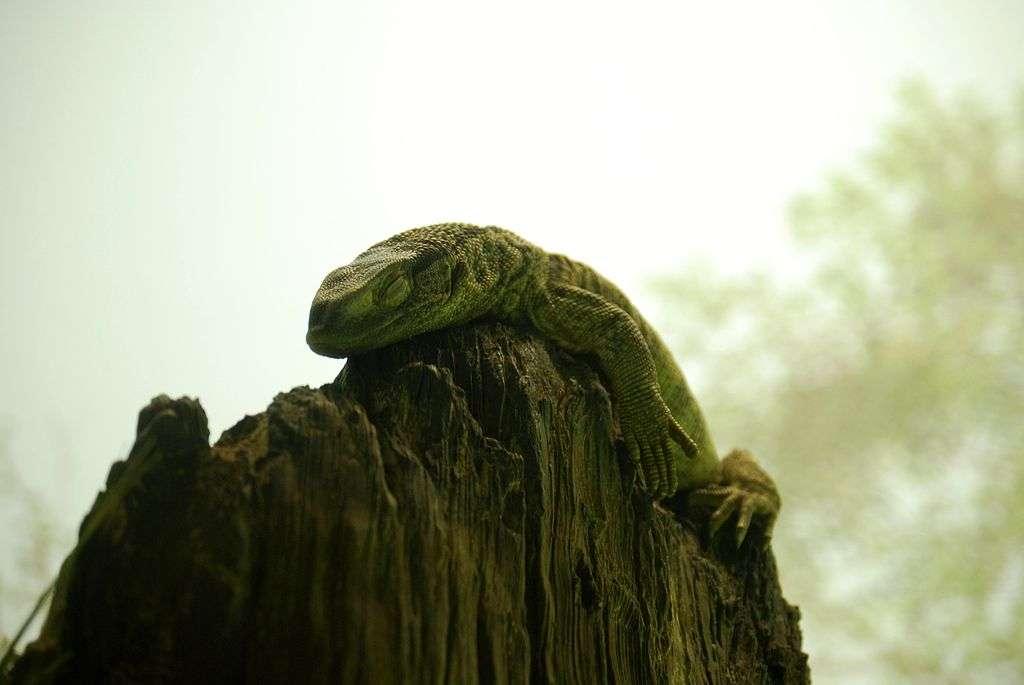 Les varans sont dotés d'un appareil respiratoire undirectionnel, qu'on pensait propre aux oiseaux et aux crocodiles. Un tel dispositif permet d'optimiser l'utilisation d'oxygène. On se demande désormais si les dinosaures en étaient également pourvus. © Cs California, Wikipédia, cc by sa 3.0