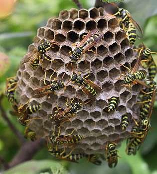 Chez les insectes sociaux, l'altruisme est la règle mais n'est pas désintéressé. © Pep.per CC by-sa