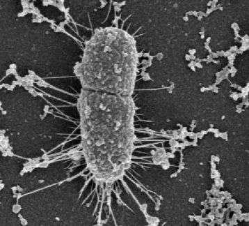 Une bactérie Escherichia coli en train de se diviser. Ce mécanisme de bipartition peut conduire à deux individus génétiquement identiques. © DR
