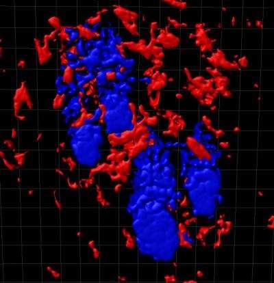 Section de peau avec, en bleu, les follicules pileux entourés de macrophages, en rouge. © Donatello Castellana, CNIO