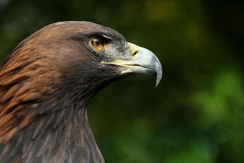 L'aigle royal est inscrit sur l'annexe I de la Directive Oiseaux. © Richard Bartz, Wikipédia, cc by sa 2.5
