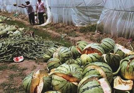 Les paysans assistent, impuissants, à l'explosion des pastèques. © AP/Sipa