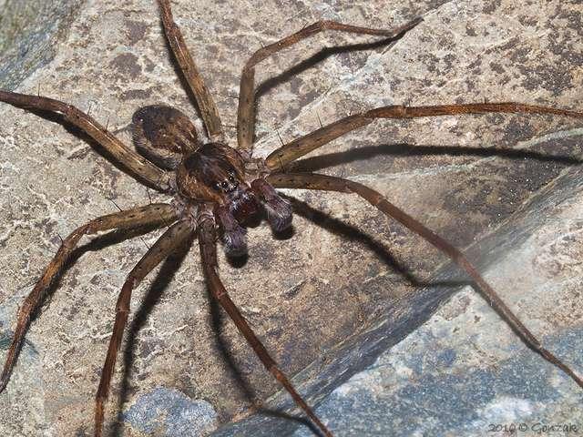 Les araignées mâles sont souvent reconnaissables grâce à leurs pédipalpes hypertrophiés. © Gonzak, Flickr, cc by nc nd 2.0