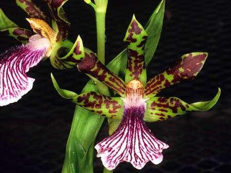 On retrouve Zygopetalum crinitum au Brésil, au Pérou et en Colombie. Cette orchidée est une épiphyte à feuillage persistant et se présente sous forme de touffes compactes et épaisses. © Eric Hunt