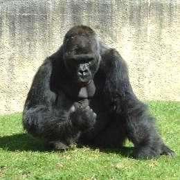 D'ici 2030 plus de grand singe à l'état sauvage ?Source : http://zoo.1001france.com.fr
