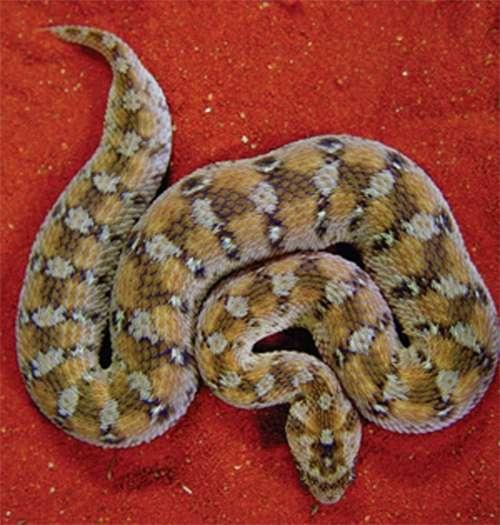 Ce joli serpent, très venimeux, a su transmettre à un mammifère une partie - non codante - de son génome. © Stephan Gimmel