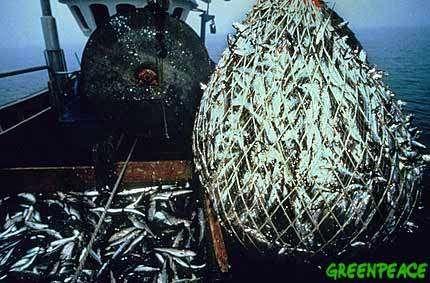 La surpêche en méditerranée conduit à la capture de poissons de plus en plus petits.© Greenpeace
