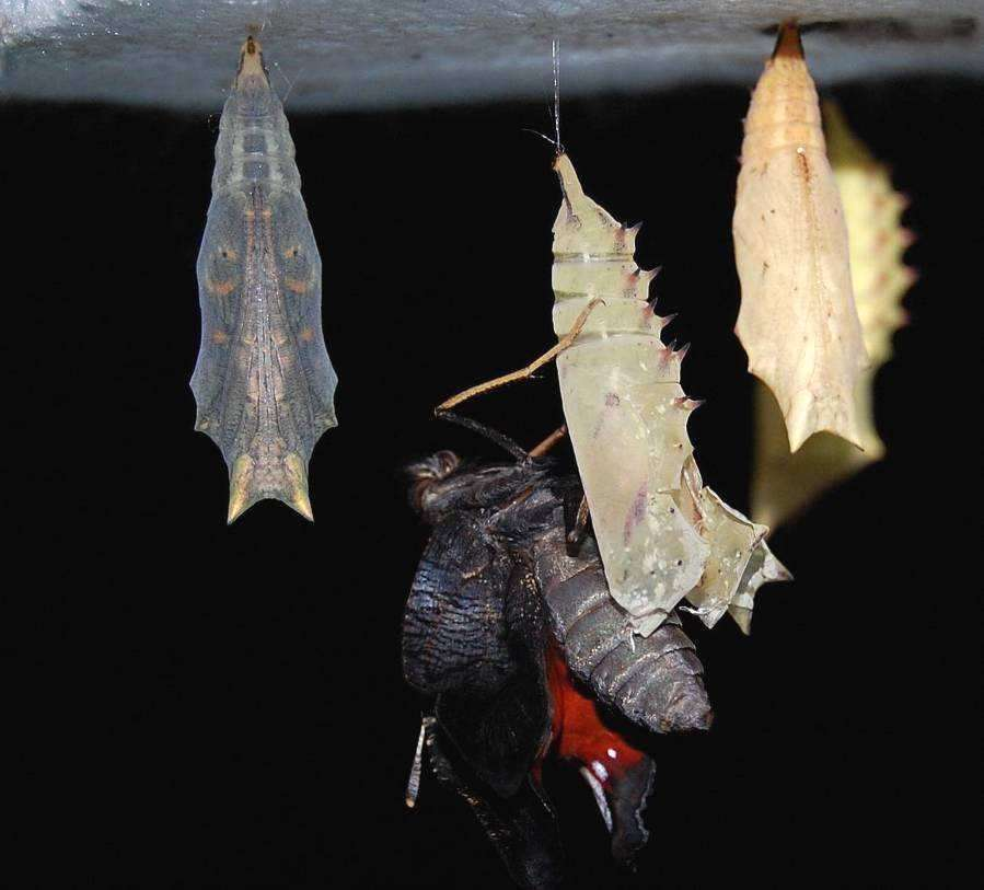 Après l'émergence, le papillon expulse le méconium. © Bernard Schmeltz