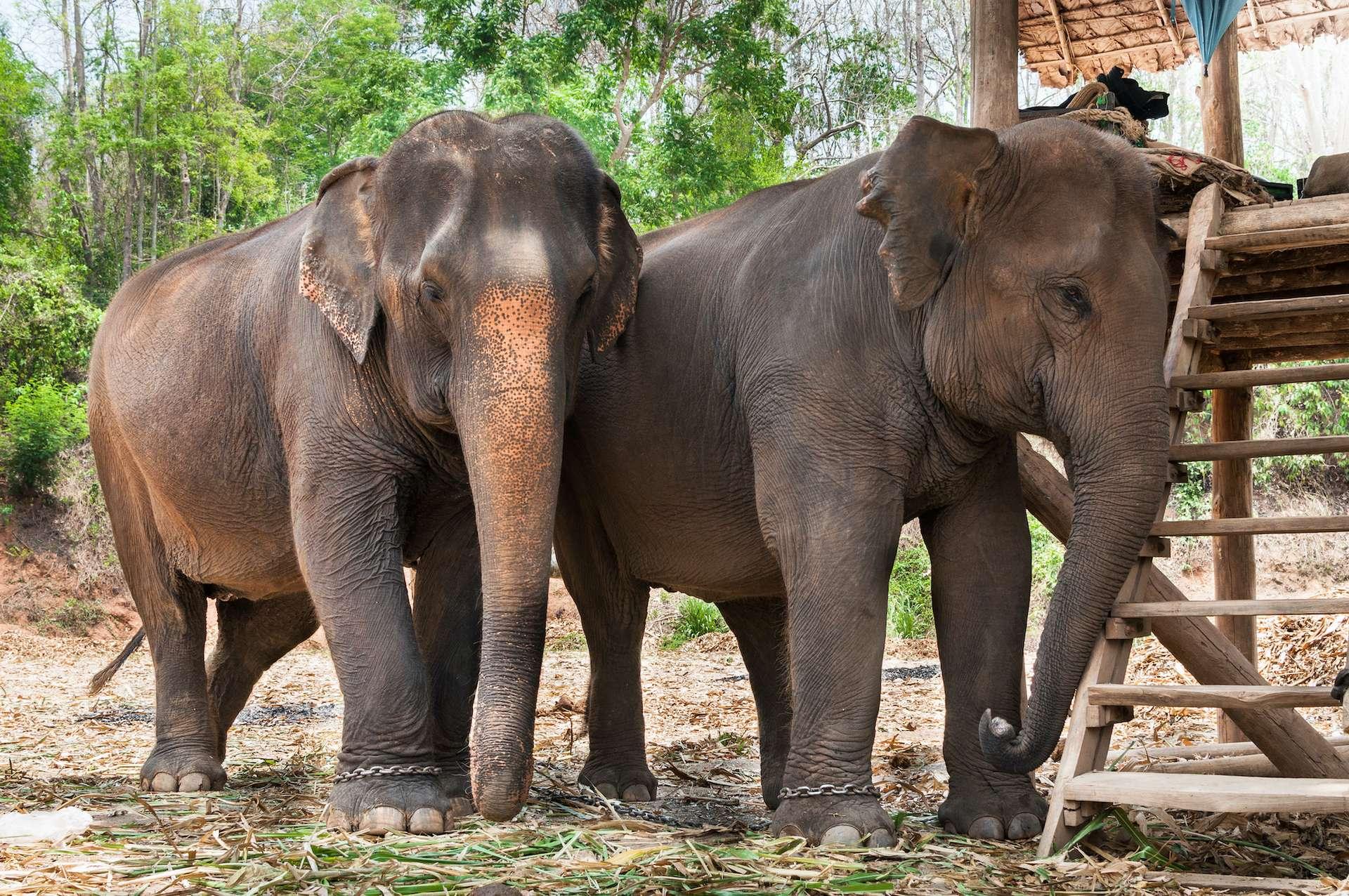 La Thaïlande compte 3.800 éléphants en captivité, qui ne peuvent plus être nourris en raison de la chute du tourisme. © rawintanpin, Adobe Stock