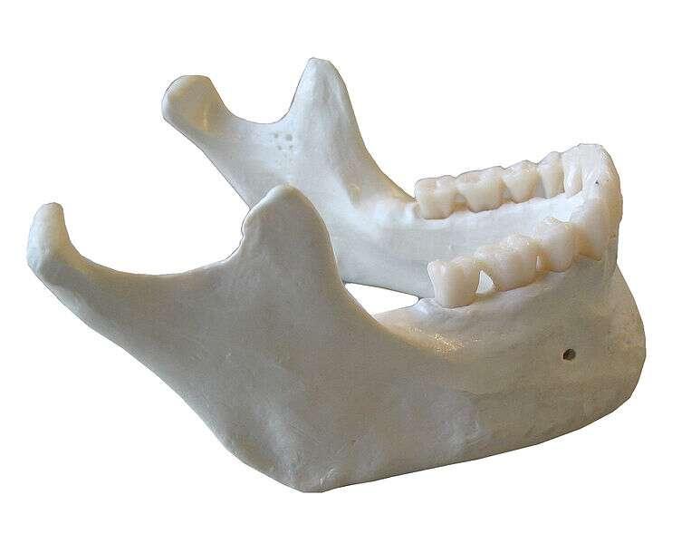 La mandibule est un des deux os de la mâchoire. © Dake, Wikimedia, CC by-sa 2.5