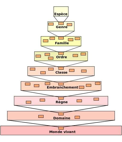 Le vivant est classé en de nombreux taxons, du domaine vivant à l'espèce, regroupant les espèces selon leurs caractéristiques communes et leur parenté. © Dosto, Wikipédia, cc by sa 3.0