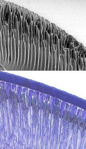 L'oeil artificiel conçu par l'équipe (en haut) est semblable en taille, en forme et en structure, à l'oeil multifacette d'un insecte (en bas)