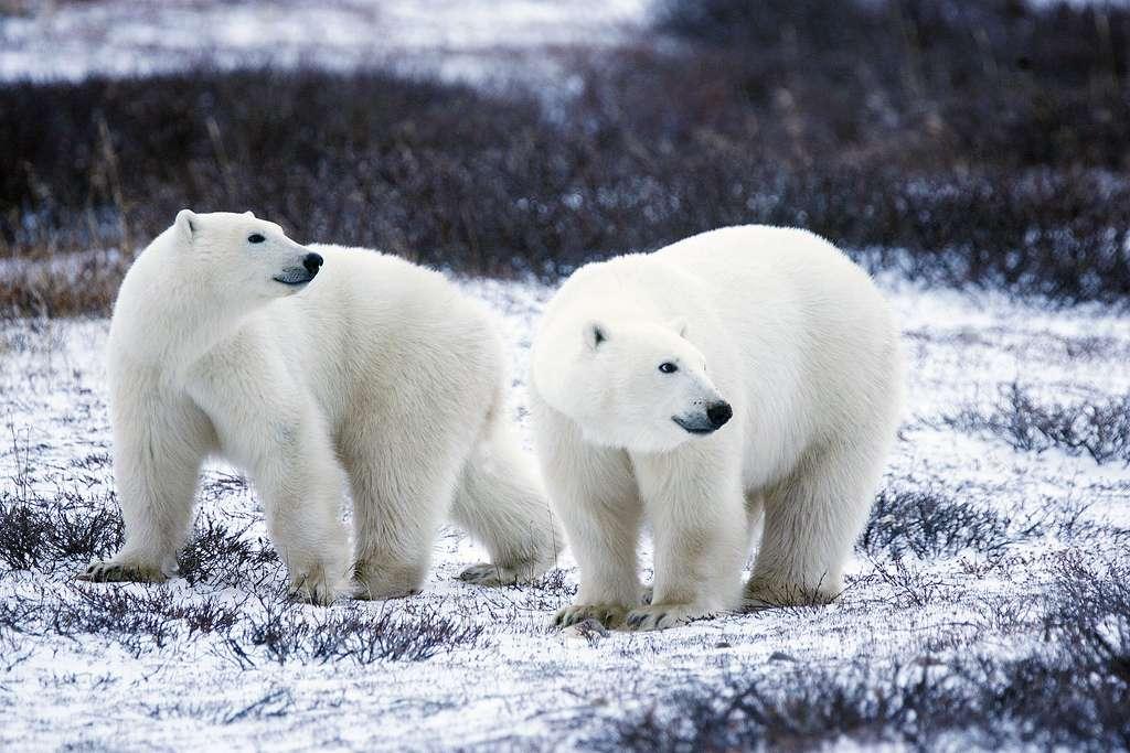 Les mammifères ont colonisé tous les milieux : sous terre, sur terre ou sous l'eau, dans les déserts brûlants ou sous les latitudes polaires, comme ces ours blancs. © USFWS Headquarters, Flickr, cc by 2.0