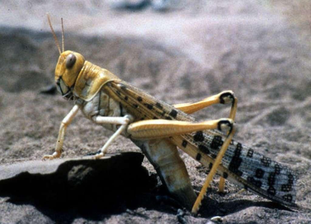 Schistocerca gregaria est considéré comme un criquet ravageur en Afrique. Au-delà d'un certain seuil de population, ces insectes d'habitude solitaires peuvent se regrouper et former des essaims de plusieurs millions d'individus ravageant toutes les cultures sur leur passage (65.000 km² impactés en 2003). Chacun d'eux (6 à 9 cm à l'âge adulte) mange une fois son poids (environ 2 g) dans la journée. © IIta-media-library, Flickr, CC by-nc 2.0