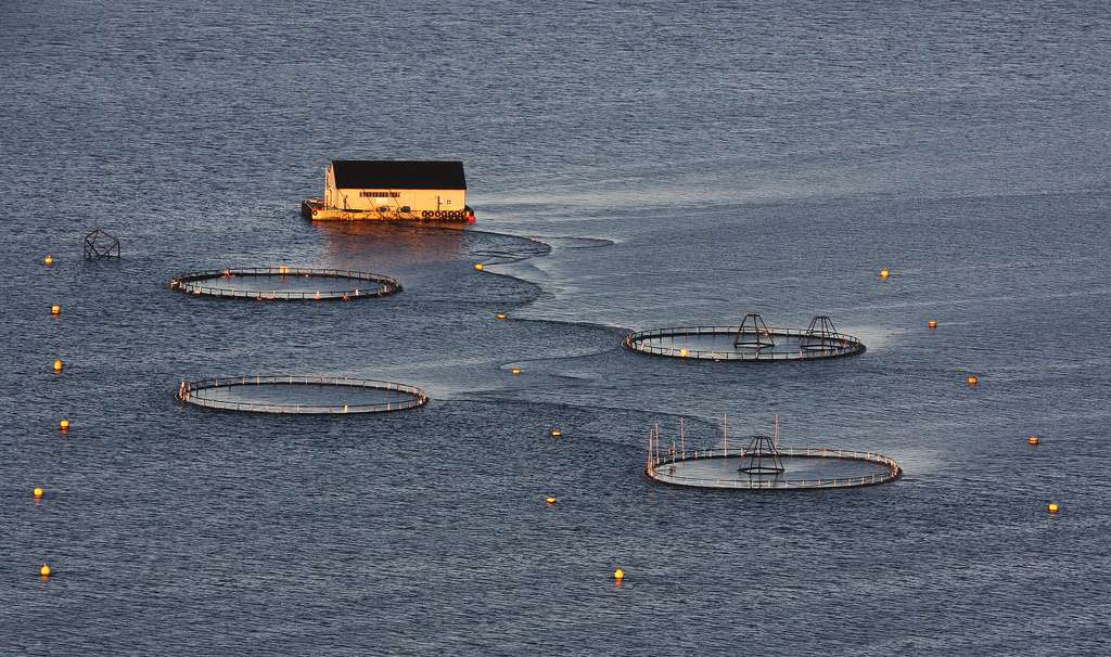 Près de 75 % des saumons disponibles sur le marché proviendraient de Norvège et du Chili. La Norvège produirait à elle seule 90 % du saumon de l'Atlantique. © Yodod, Flickr, cc by nc nd 2.0