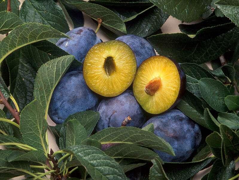 Les quetsches sont des prunes violettes qui contiennent du sorbitol. © DR