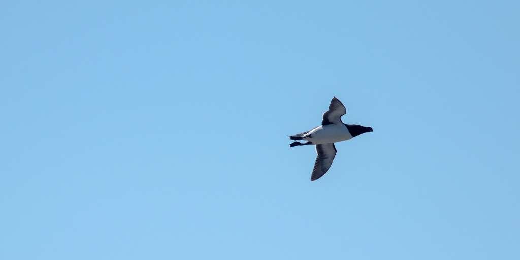 Contrairement aux manchots, les pingouins savent voler. © Pionites melanocephalus, Flickr, cc by nc nd 2.0