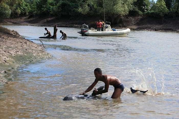Durant les mois de mai et juin 2008, la WCS a dirigé une équipe internationale afin de comprendre l'échouage massif d'une centaine de dauphins d'Électre dans les mangroves côtières du nord-est de Madagascar. © T. Collins, Wildlife Conservation Society