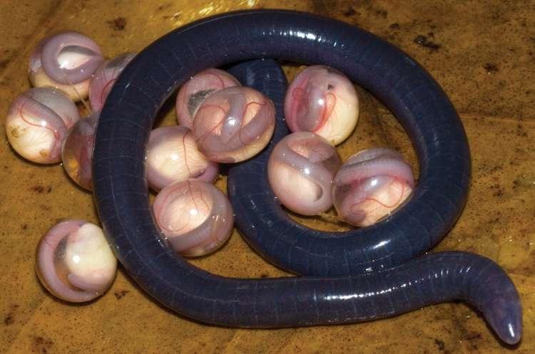 Chikila fulleri fait partie des 7 espèces de la nouvelle famille des chikilidés. © Kamei et al., 2012, Proceedings of the Royal Society B