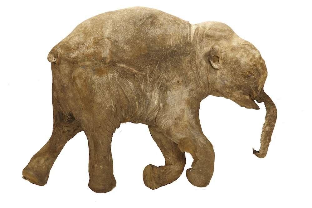 Momie de Liouba, un bébé mammouth mort il y a plus de 40.000 ans, très bien conservé par le froid du pergélisol arctique de la Sibérie. Afin de limiter les dégâts d'une autopsie, la femelle qui faisait partie des mammouths laineux a été examinée avec un scanneur. © Francis Latreille