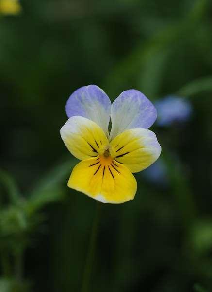 La pensée sauvage est tricolore. © F. Le Driant / FloreAlpes.com