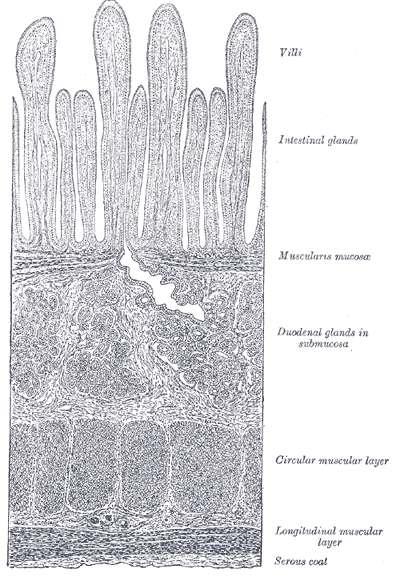 Les villosités de l'intestin, parallèles et verticales, sont visibles entre la lumière (blanc, en haut) et les différentes couches cellulaires de la paroi intestinale. Crédits DR.