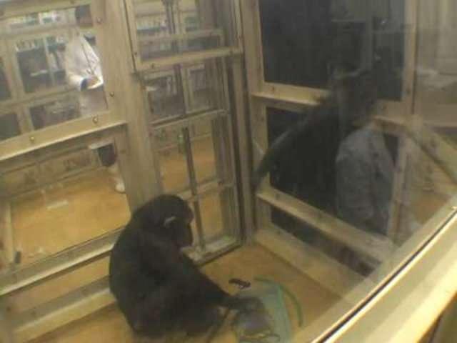 Aide ciblée chez les chimpanzés 2