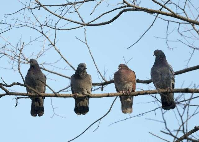 La surpopulation de pigeons causerait pour certains de nombreux problèmes : nuisances sonores, saleté, dégradation d'immeubles, transport de maladies, etc. © Bragin Alexey