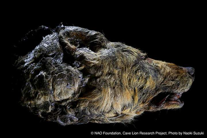 Tête incroyablement bien préservée d'un loup du Pléistocène datant de plus de 40.000 ans. Elle a traversé les âges, préservée dans le sous-sol gelé de Sibérie. © NAO Foundation, Cave Lion Research Project. Photo by Naoki Suzuki (Jikei University School of Medicine, Tokyo)