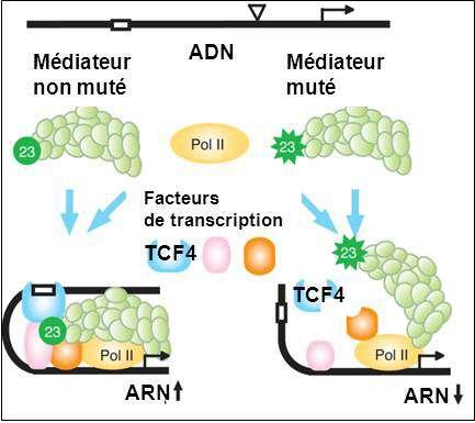 Figure 2 : dans le cas du gène JUN, la protéine MED23 mutée ne permet plus l'assemblage nécessaire à la transcription. © Inserm
