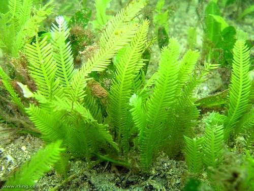 La Caulerpa taxifolia, hôte indésirable, est désormais solidement établie en Méditerranée. © Richard Ling CC by-nc-sa 2.0