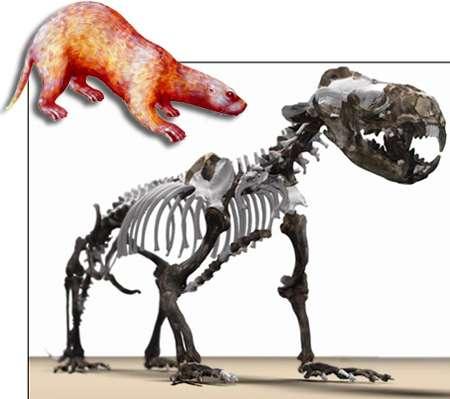 Puijila darwini, un cousin disparu des pinnipèdes actuels. © Alex Tirabasso, Canadian Museum of Nature (squelette) ; Stefan Thompson (dessin)