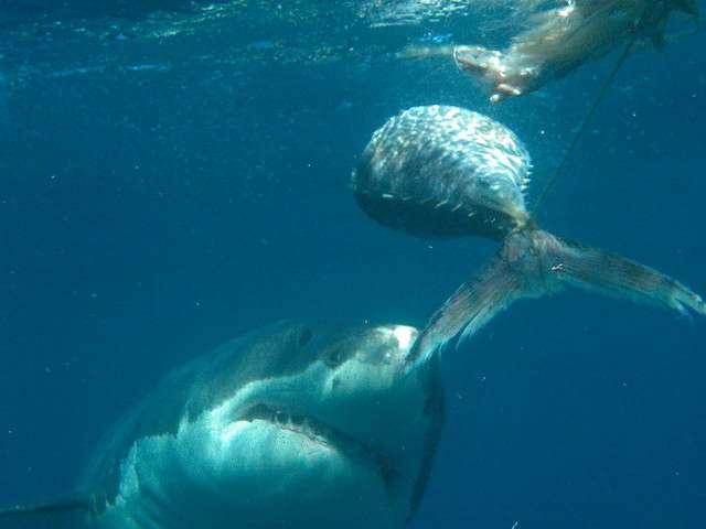 Nourrir les requins, un jeu dangereux pour les autres usagers de la mer si les squales associent être humain et nourriture... © Sue Hickton, Flickr, CC by-nc-sa 2.0
