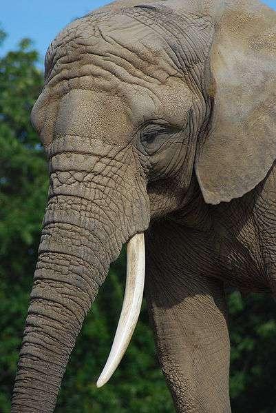 D'après des analyses génétiques, il existe deux espèces distinctes d'éléphants d'Afrique. © Marcus Obal, Wikimedia, CC by-sa 3.0