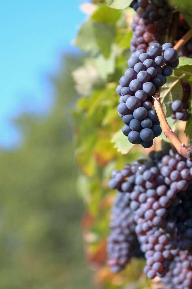 Jusque-là, le label bio ne pouvait concerner que la culture de la vigne. Les pratiques œnologiques ne pouvaient, elles, être certifiées. L'expression « vin issu de l'agriculture biologique » pourrait disparaître. © Gyuszkofoto, shutterstock.com