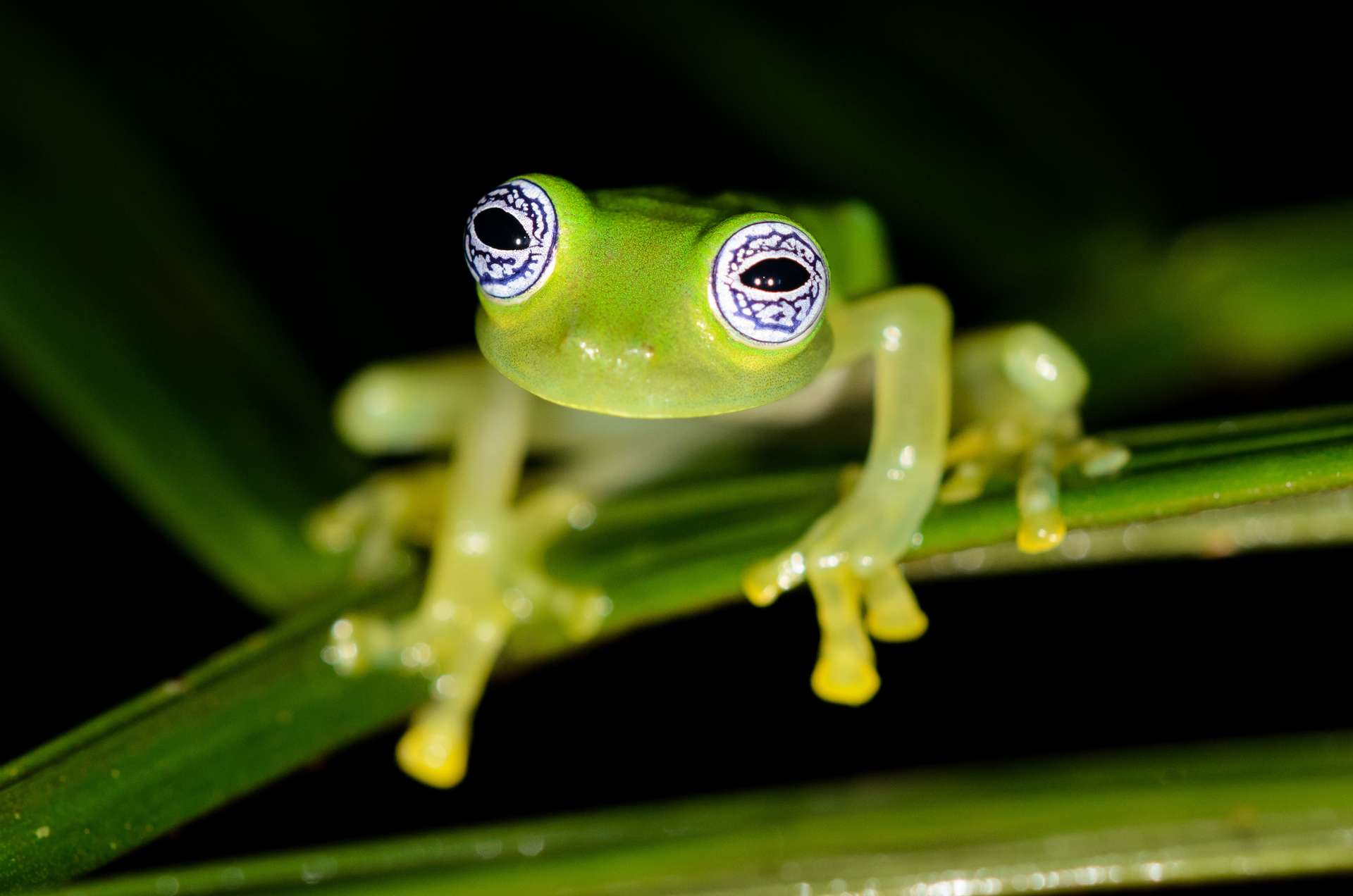 Les grenouilles de verre doivent leur nom à la peau sur leur abdomen. Translucide, celle-ci laisse paraître les organes. © Salparadis, Adobe Stock